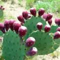 Nopal-Cactus